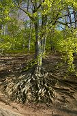 Beech forest in springtime