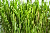 Green Sprouts Of Oat