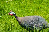 stock photo of guinea fowl  - A Guinea fowl walking in long grass - JPG