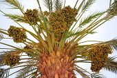 Harvest On Date Palm