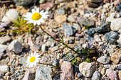 Two Daisy Growing On The Stones