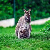 Little Kangaroo In A Small Farm