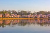Cherry blossom at dawn around Tidal Basin Washington DC.