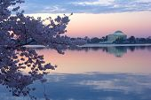 Cherry trees in blossom around Tidal Basin Washington DC.