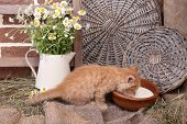 Cute little red kitten drinking milk on barn wall background