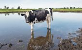 Young Black And White Cow In The Water