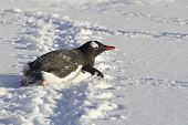 Gentoo Penguin Who Crawls On His Belly In The Snow