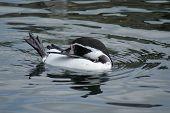 Humboldt Penguin - Spheniscus Humboldti