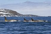Flock Orcas Or Killer Whales Swimming Along The Antarctic Islands 1