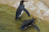 King Penguin - Aptenodytes patagonicus