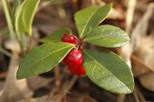 Wintergreen With Red Berries