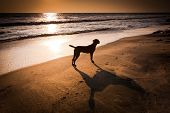 Dog At Tropical Beach Under Evening Sun. India