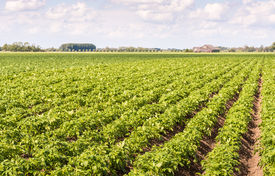 picture of solanum tuberosum  - Seemingly endless rows of fresh green young potato or Solanum tuberosum plants on a Dutch field with the farm in the background - JPG