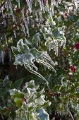 Holly leaves and berries covered  with ice on holly shrub