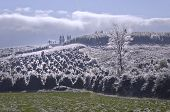 Landscape of Holly Trees on hillside covered with ice crystals