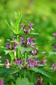 The red deadnettle, purple deadnettle, purple archangel, or velikdenche (Lamium purpureum) is a herb