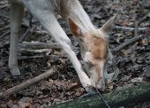 Female White Red Deer Searching The Food In The Forest