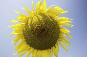Sunflower On A Blue Background