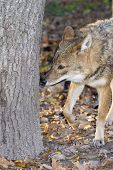 image of jackal  - Golden jackal (Canis aureus) smells a sign at a tree