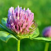 Fower of the red clover.