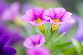 Closeup Of Colorful Petunia (solanaceae)