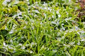Wet Snow On The Green Grass