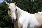 Palomino Horse Looking To Camera