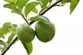 Annona Reticulata Fruit