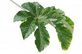 Cecropia Pachystachya Leaf