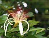 Guiana Chestnut Flower