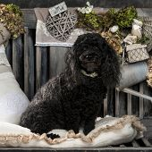 Poodle in front of a rustic background
