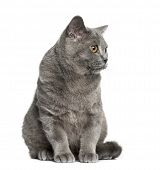 British Shorthair sitting (6 months old)