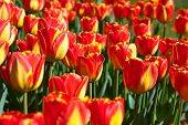 Red tulips flowers - nature background