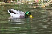 Water Flowing Off Head Of Mallard Duck