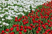 Red and white flowers - nature background