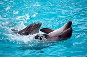 stock photo of bottlenose dolphin  - Two dolphins close up - JPG