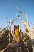 Corn Field Detail At Morning