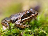 Rana Arvalis, Europan Moor Frog