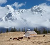 Herd of cows grazing on grass. Landscape in a mountain village