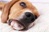 Beagle dog on pillow close-up