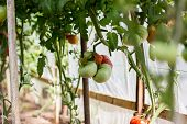 Ripe Tomatoes  Growing In A Greenhouse.