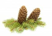 Fir Cones On A Branch Of Spruce. .