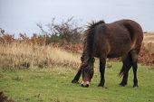 Pony Rare Breed
