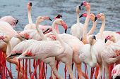 picture of pink flamingos  - Huge colony of Rosy Flamingo in Walvis Bay Namibia overcast True wildlife - JPG