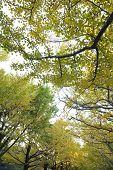 big tree and yellow leaf in autumn season