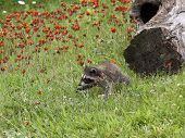 Baby Raccoon Exploring in Orange Wildflowers
