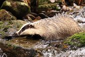 picture of badger  - Female badger loking for food in the creek - JPG