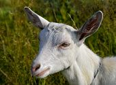 Portrait Of A White Young Goat  Close-up.