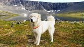 stock photo of sheep-dog  - Summer mountain landscape with Anatolian shepherd dog - JPG
