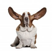 stock photo of basset hound  - Basset Hound with ears up 2 years old sitting in front of white background - JPG